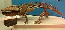 The temnospondyl Eryops had sturdy limbs to support its body on land Eryops - National Museum of Natural History - IMG 1974.JPG