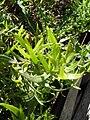 Estragon feuilles.JPG