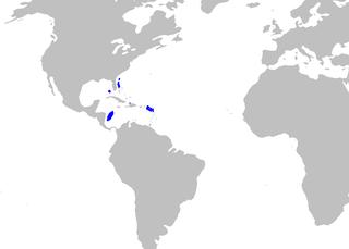 West Indian lanternshark species of fish