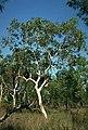 Eucalyptus apodophylla habit.jpg