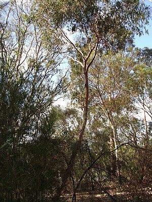 Eucalyptus macrorhyncha - Image: Eucalyptus macroryhncha