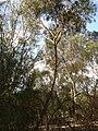 Eucalyptus macroryhncha.jpg