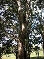 Eucalyptus raveratiana bark.jpg