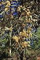 Eucalyptus sp. (31804546223).jpg