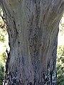 Eucalyptus stellulata (black sallee) - trunk bark 01.jpg