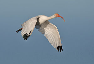 American white ibis - Adult flying in Huntington Beach State Park, South Carolina, United States