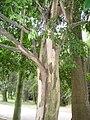 Eugenia uniflora - Jardim Botânico de São Paulo - IMG 0389.jpg