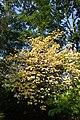 Euonymus latifolius kz7.jpg