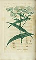 Eupatorium perfoliatum, Thorough wort, (3528515430).jpg