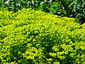 Euphorbia cyparissias flowering 02.JPG