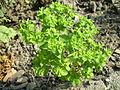 Euphorbia helioscopia 0.4 R 0.5 R.jpg