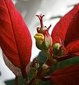 Euphorbia pulcherrima inflorescence.JPG