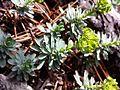 Euphorbia saxatilis sl7.jpg