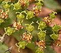 Euphorbia stellata.jpeg