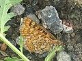 Euphydryas aurinia - Marsh fritillary - Шашечница авриния (26279921367).jpg
