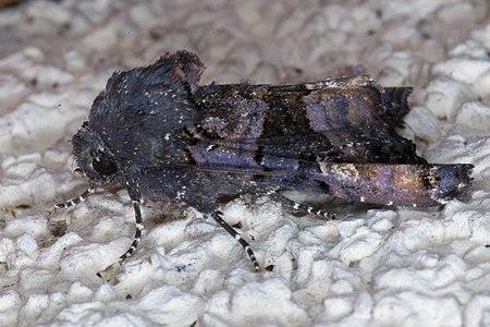 Euplexia lucipara02(js), Lodz(Poland).jpg