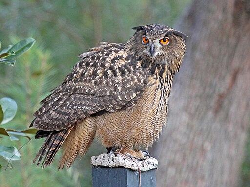 http://upload.wikimedia.org/wikipedia/commons/thumb/3/36/Eurasian_Eagle-Owl_RWD.jpg/512px-Eurasian_Eagle-Owl_RWD.jpg