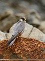Eurasian Hobby (Falco subbuteo) (38763900595).jpg