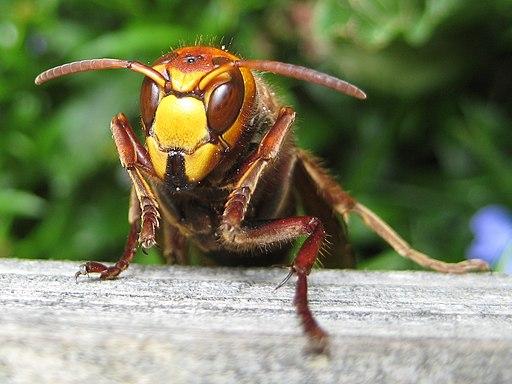 European hornet 090621