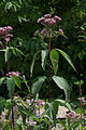 Eutrochium maculatum 5515780.jpg