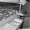 Ex-oesterkwekers in Yerseke halen de eerste champignons binnen, de kas, Bestanddeelnr 916-0719.jpg