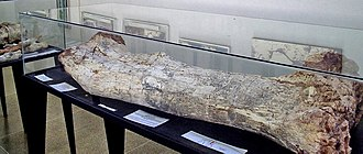 Aeolosaurus - Left femur of A. maximus
