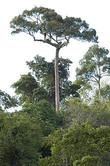 Teakbaum im tropischen regenwald  Nationalpark Khao Yai – Wikipedia