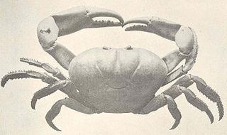 species of crustacean