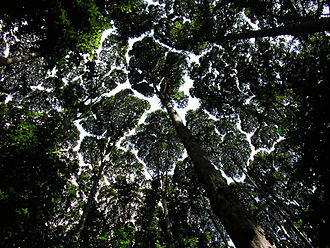 Rainforest - The canopy at the Forest Research Institute Malaysia showing crown shyness