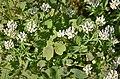 Fabaceae (44425180685).jpg