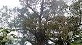 Famous Old Banyan tree.jpg