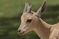 Fawn of Capra nubiana in Sde Boker 03.jpg