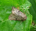 Feckenham Wildmoor.WWT , Worcs. UK. SP 012603 1 seen - Flickr - gailhampshire.jpg