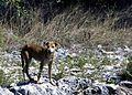 Feral Dog.jpg