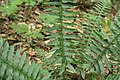 Ferns in Perry County, Pennsylvania.jpg