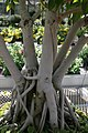 Ficus benjamina 7zz.jpg