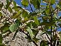 Ficus drupacea (Mysore Fig) in Bhongir fort, AP W2 IMG 2956.jpg