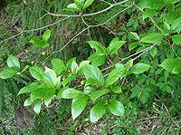 Ficus erecta5