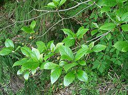 Ficus erecta