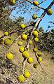 Ficus exasperata 02.JPG