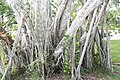 Ficus microcarpa var. nitida 4zz.jpg