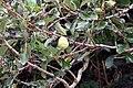 Ficus pumila 28zz.jpg