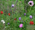 Field-of-various-color-kalanit02.jpg