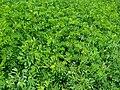 Field of green leafy plants.jpg