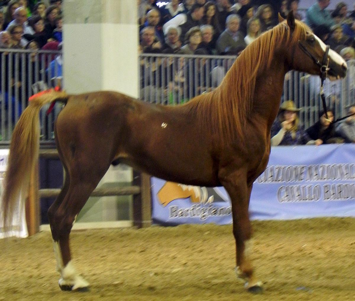 Persano cavallo wikipedia - Avere un cavallo ...