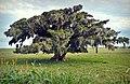 Figueiras (Ficus organensis) 5.jpg
