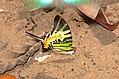 Fivebar Swordtail Graphium (Pathysa) antiphates (24104903079).jpg