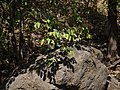 Flacourtia montana (8502455059).jpg