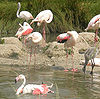 Greater Flamingo which visits in large flocks of over 1000 individuals, from Rann of Kutch of India