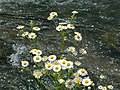 Fleabane (Erigeron) flowers growing near Logan Branch in Bellefonte, PA.jpg